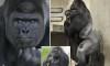 Shabani the gorilla-md