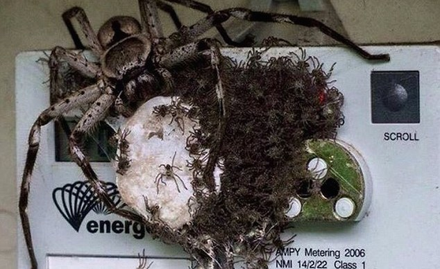 Wolf Spider Gives Homeowners A Shock After Covering Electricity Meter With Hundreds Of Its Babies
